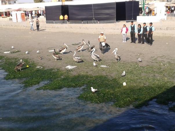 Os pelicanos na praia